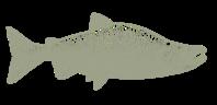 fish-sketch